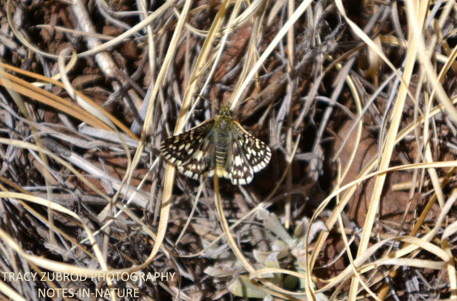 TWO-BANDED CHECKER SKIPPER-1