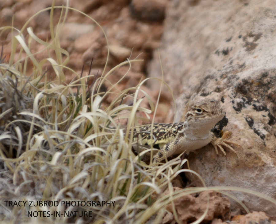 SAGEBRUSH LIZARD-1