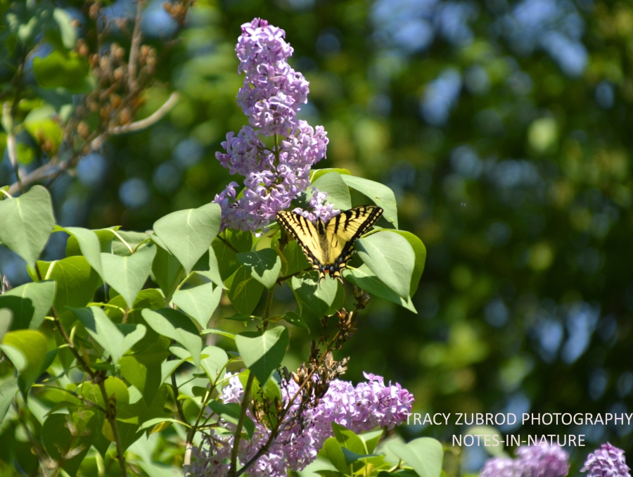 EASTERN TIGER SWALLOWTAIL-1