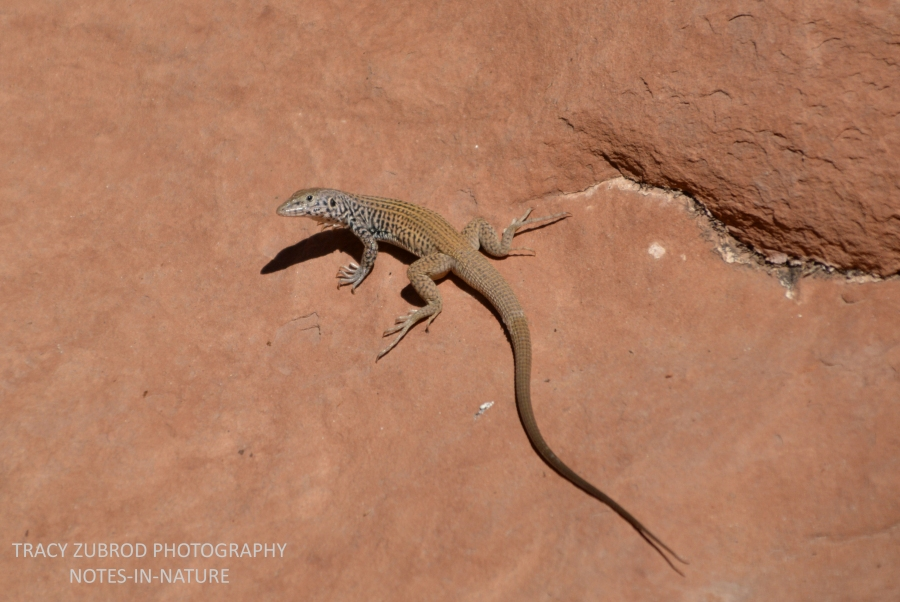 WESTERN WHIPTAIL-1