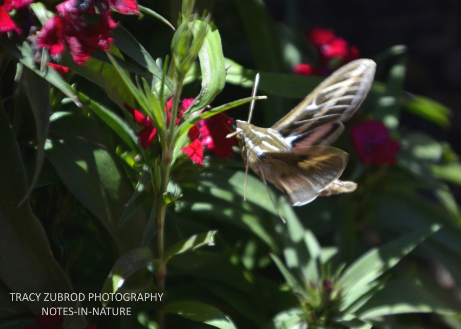 WHITE-LINED SPHINX MOTH-1