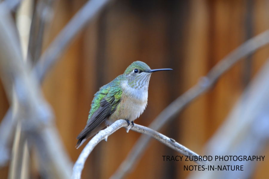 RUFOUS HUMMINGBIRD- FEMALE