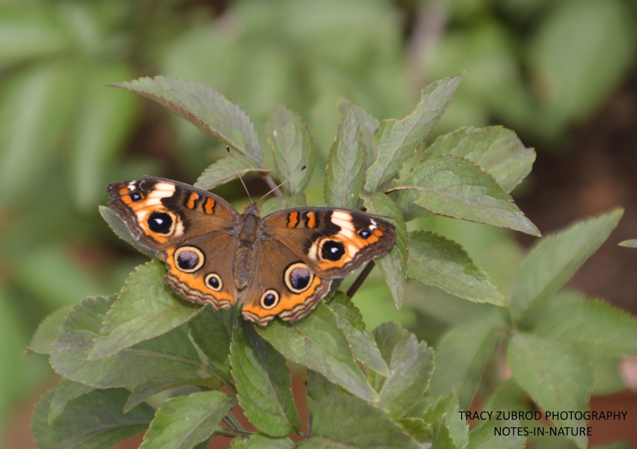 COMMON BUCKEYE-1