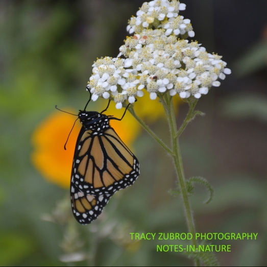 cropped-monarch-2