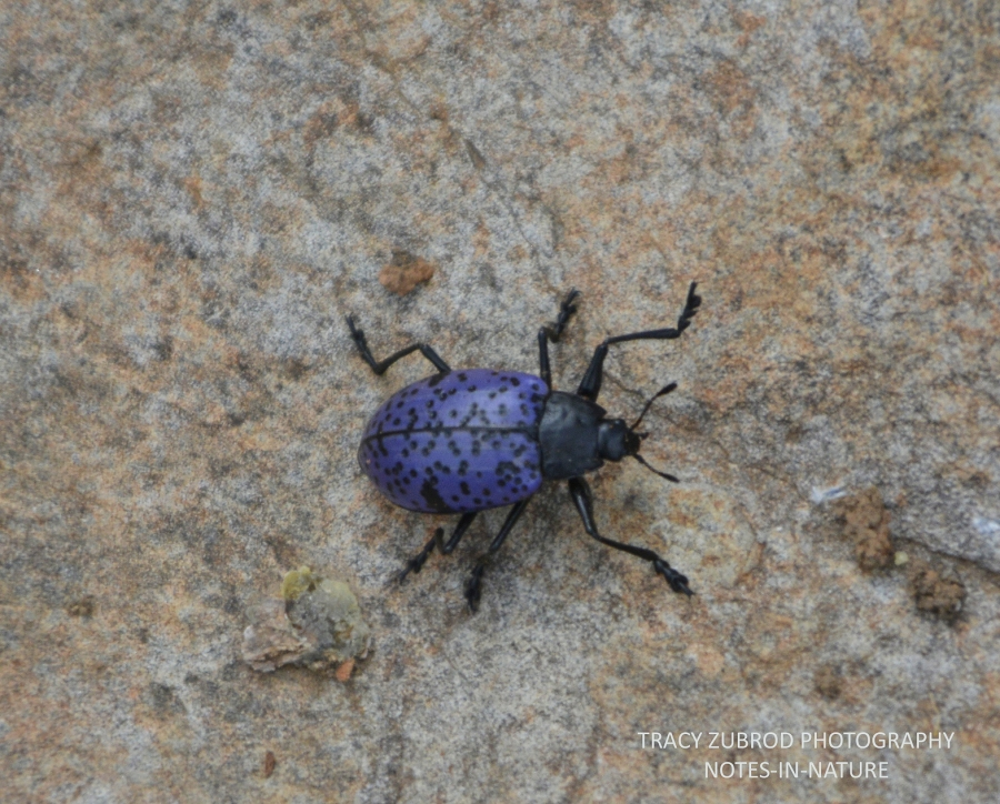 PLEASING FUNGUS BEETLE-