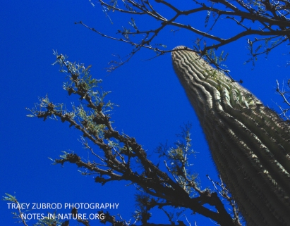 HONEY MESQUITE AND SAGUARO