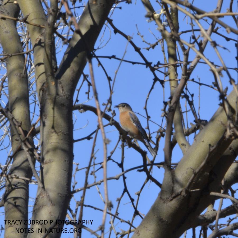 western bluebird-1