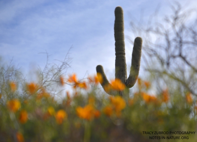 SAGUARO WITH POPPIES