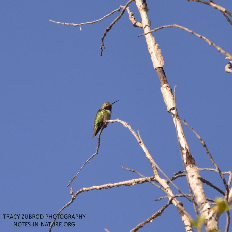 BLACK-CHINNED HUMMINGBIRD-1