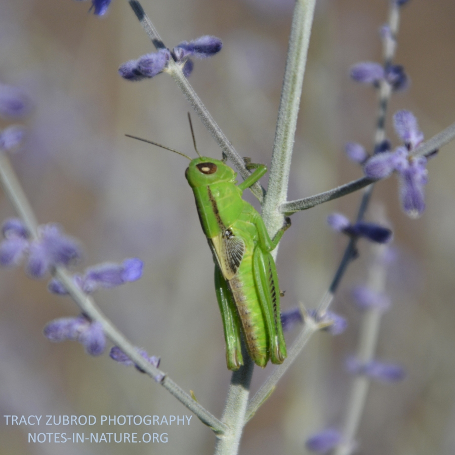 COMMON GREEN GRASSHOPPER