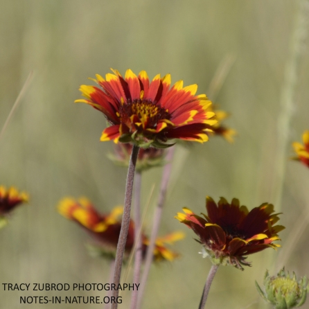 FIREWHEEL BLANKET FLOWER