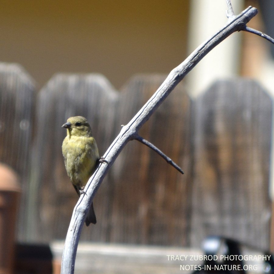 LESSER GOLDFINCH-FEMALE